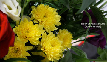 Yellow Chrysanthemums (double headed)
